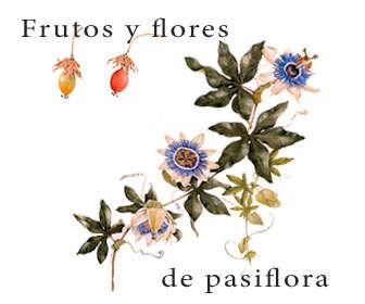 passiflora caerulea frutos, flores y hojas