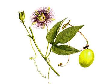 passiflora incarnata planta, flores, hojas y fruto