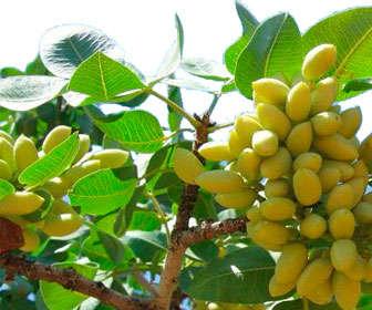 pistachos crudos en el árbol Pistacia vera