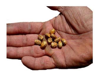 Planta de ricino y sus semillas