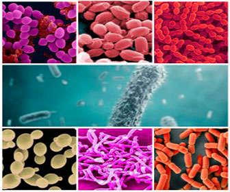 probioticos bacterias
