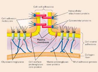 Propiedades del colágeno y hialurónico