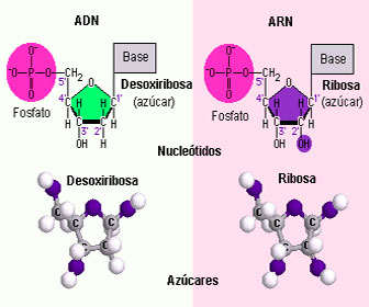 ribosa desxirribosa estructura quimica