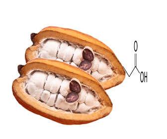 semilla de cocoa