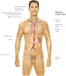 sistema linfatico masculino