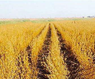 Cultivo de soja ecológica