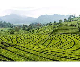 Campo de cultivo de té verde