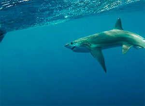 Tiburón oceánico para obtener cartílago de tiburón