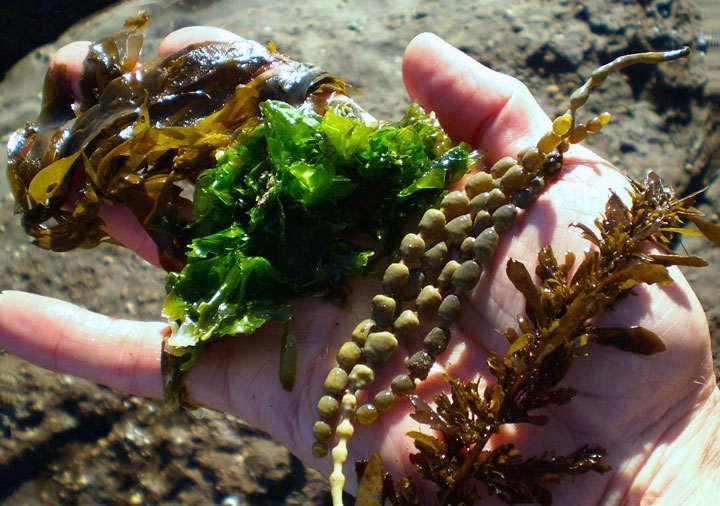 tipos de algas comestibles