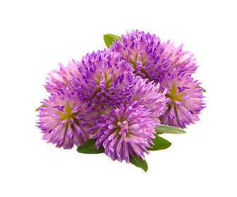trifolium pratense flores