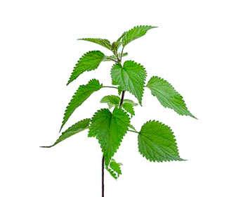 urtica dioica planta