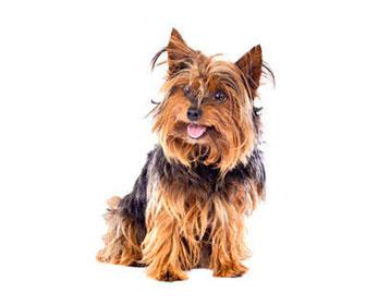 Recomendaciones y usos de las xantosinas para perros