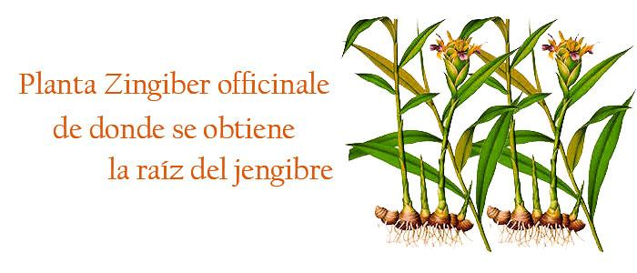 Planta Zingiber officinale
